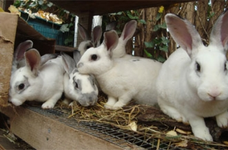 """""""أونسا"""" تكشف حقيقة انتشار فيروس قاتل في ضيعات الأرانب"""